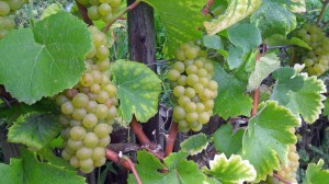 Es wird Herbst im Lahntal, die Trauben für den Lahnwein sind reif
